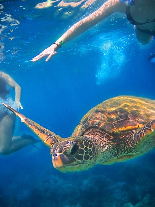 Turtle swimming among snorkelers, The Big Island. First island we went to and made me love Hawaii. First time snorkeling and swimming with the honu!