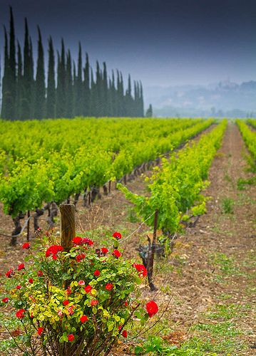 Roses at the end of the Vines, Sainte-Cécile les Vignes, Provence