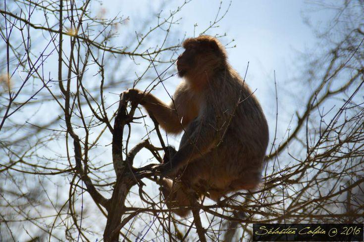 Par cette superbe journée ensoleillée, nous avons profité de la réouverture aujourd'hui de la forêt des singes à Rocamadour où nous avons pu admirer les macaques de Barbarie qui sont au nombre de 150 dans un superbe espace naturel protégé. A l'entrée, on vous donnera une poignée de pop corn qui sont des friandises pour eux et que vous pourrez leur donner mais attention, on ne touche pas! des règles de sécurité vous seront donné et vous pourrez aussi assister au repas à base de fruits…