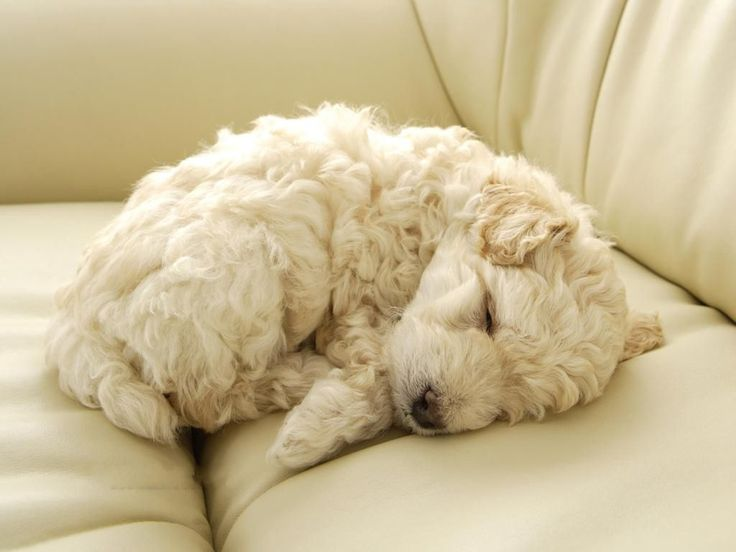 White Toy Poddle Sleeping On Couch