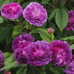 Hippolyte - David Austin Roses