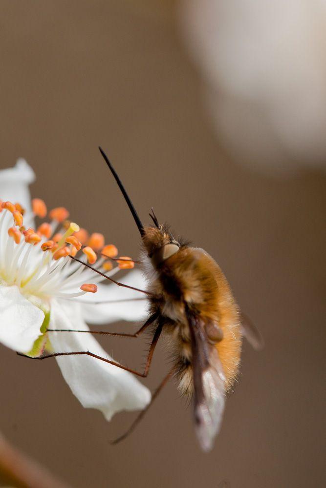 Grand Bombyle (Bombylius major) sur fleurs de mirabellier