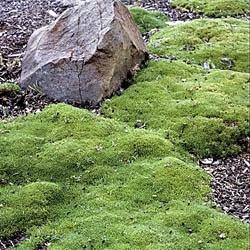 Scleranthus Biflorus ground covering  .04m (H) x 0.4m (W)