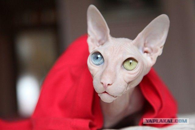 Некоторые занимательные факты о кошках сфинксах