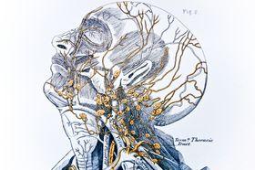 Les ganglions lymphatiques font partie du système lymphatique. Chaque ganglion est un petit organe relié à d'autres pour constituer une chaîne lymphatique ou un amas ganglionnaire. Les ganglions lymphatiques sont de petits organes arrondis,...