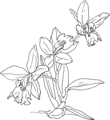 Orquídea Dibujo para colorear