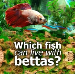 54 best betta aquariums images on pinterest aquatic for What kind of fish can live with a betta