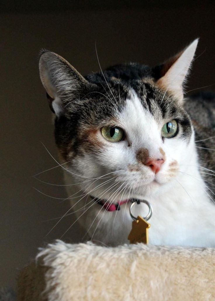 Adopt Daisy on Adoption, Kittens, Pets