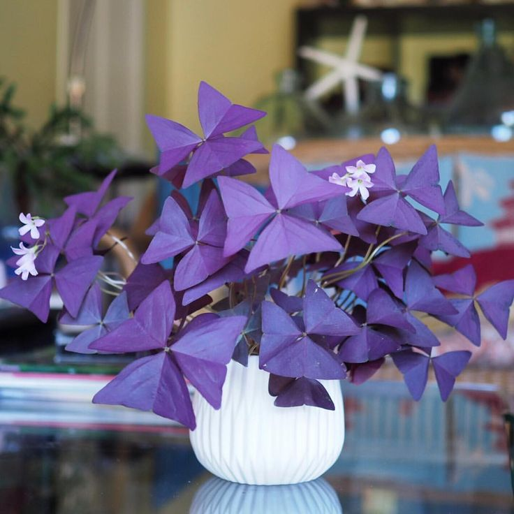Oxalis Triangularis | Purple Shamrock