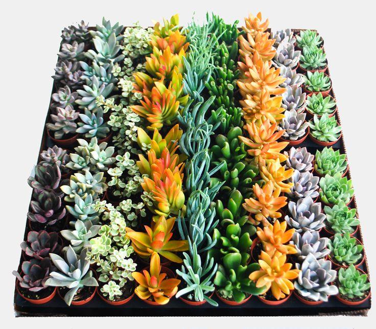 "2"" Succulent Holt Nurseries-Apopa, FL"