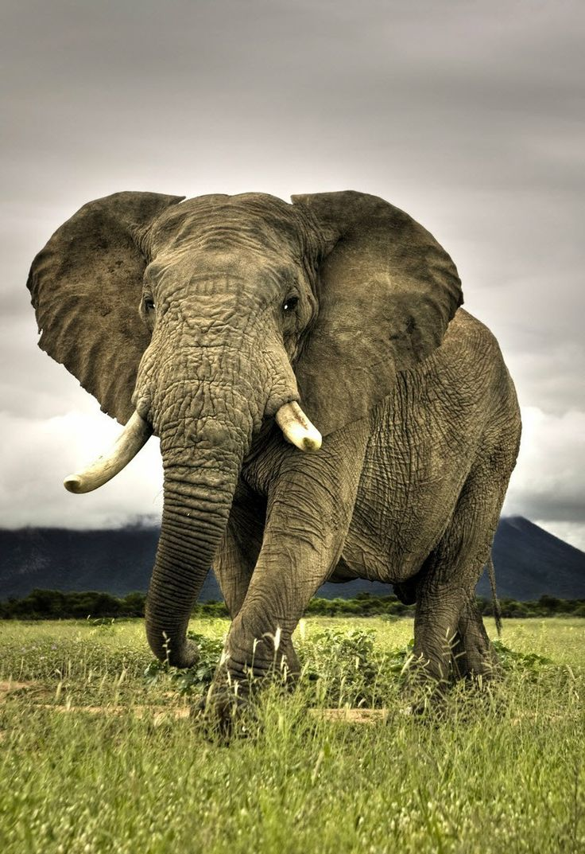 African Savanna Elephant Bush