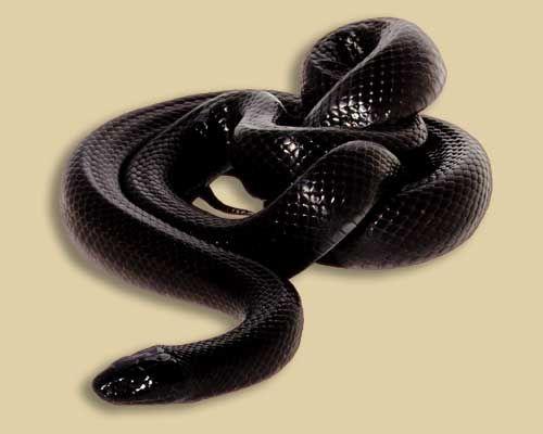 Lampropeltis getula nigrita - black Mexican king snake