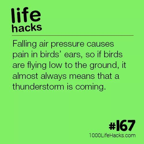 falling air pressure causes pain in birds' ears, so if birds are flying low to the ground, it almost always means that a thunderstorm is coming.
