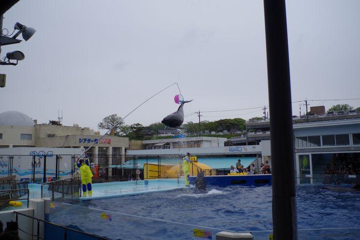 イルカショー(越前松島水族館)