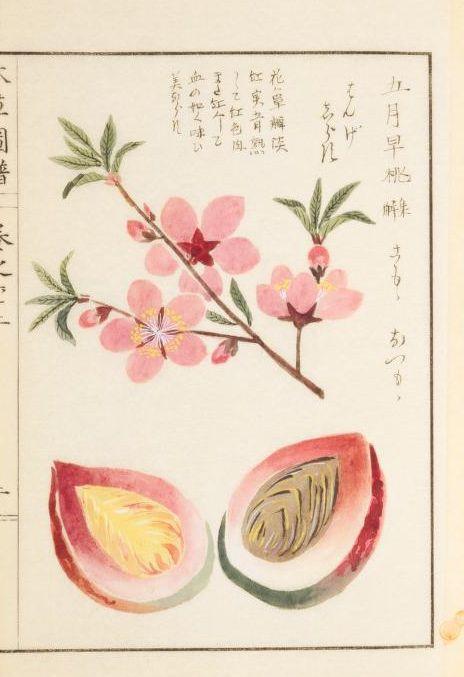 桃 Peach, 本草図譜, 第9冊 巻62果部五果類, 岩崎, 灌園, Honzo-Zufu, KanEn Iwasaki(1830)