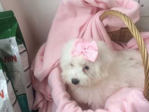 Amazing Coton De Tulear Pups For Sale Whitley Bay Tyne And Wear