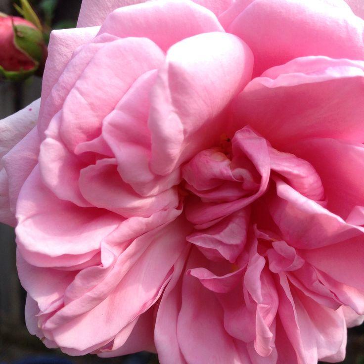 bijna uitgebloeide roos.