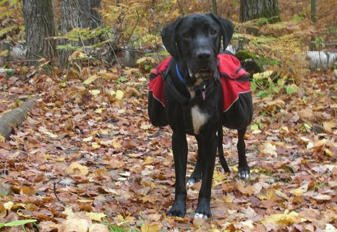 10 reasons to buy a dog backpack: Ace the black lab mix wearing a red dog backpack in the woods