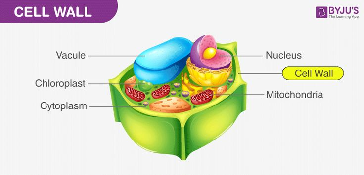 cell wall and cell membrane structure functions and on cell wall function id=40857