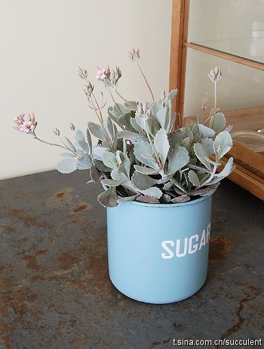 Kalanchoe, indigenous to South Africa