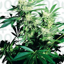 Skunk Kush Feminized - strain - Sensi Seeds | Cannapedia