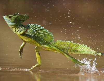 Jesus lizard walks ( well runs ) on surface tension of water to cross rivers in the wild ✳️