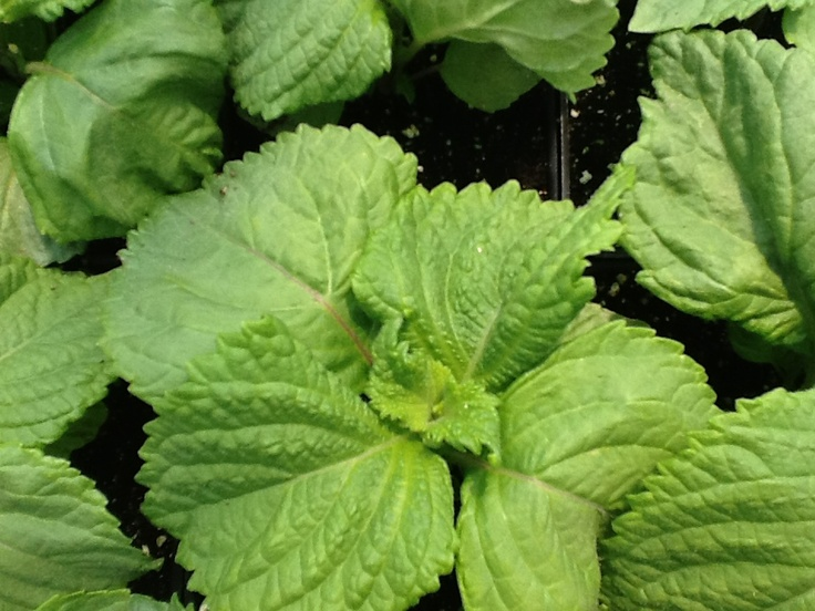 Shiso or Perillo babies. Shiso is a Japanese herb often used in Japanese cooking. I will incorporate it into sushi recipes!!!