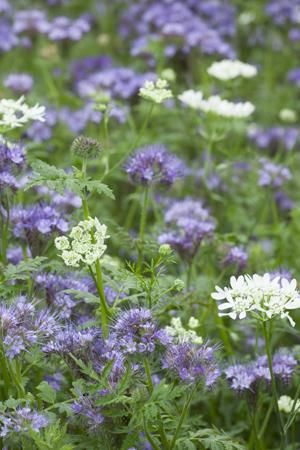 Grow Together: Orlaya grandiflora & Phacelia tanacetifolia