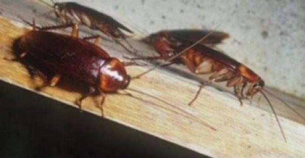 Κατσαρίδες στο σπίτι: 7 απλοί και φυσικοί τρόποι για να απαλλαγείτε μια για πάντα!