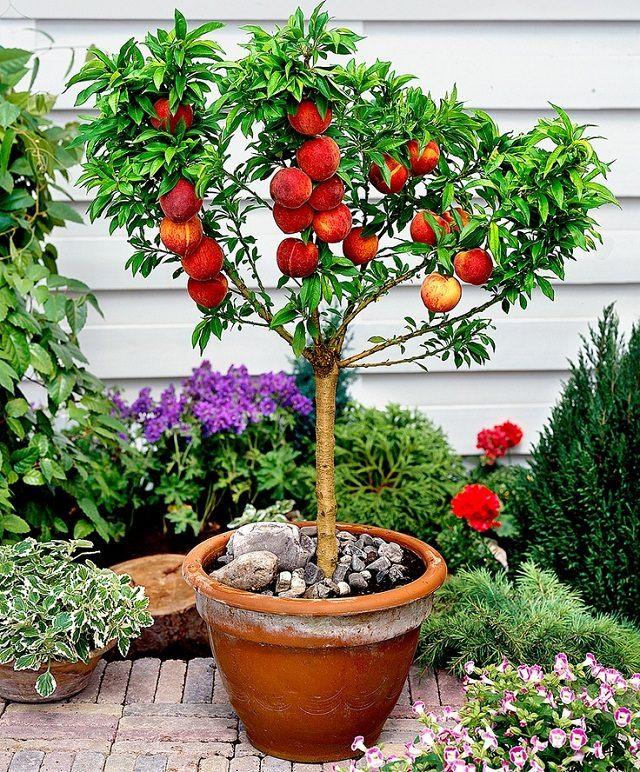 Dwarf bonanza peach tree.