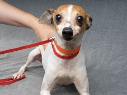 Adopt Bronco, a lovely 8 years Dog available for adoption at Petango.com. Bronco…