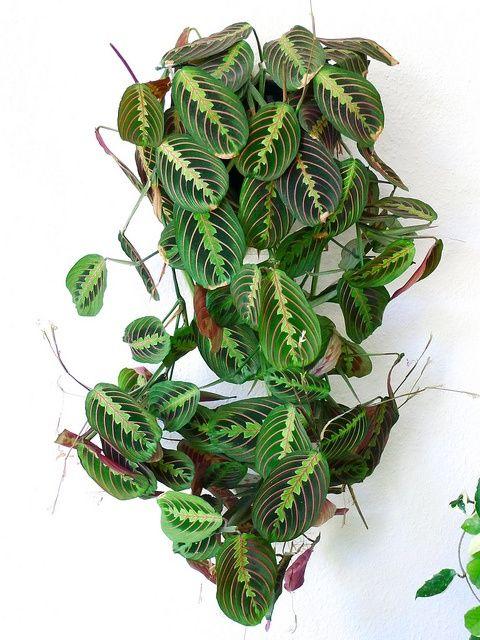 Maranta leuconeura erythroneura. = Prayer plant.