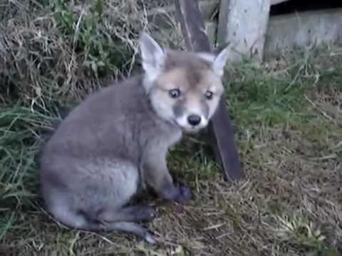 Watch what happens when a man frees a fox cub