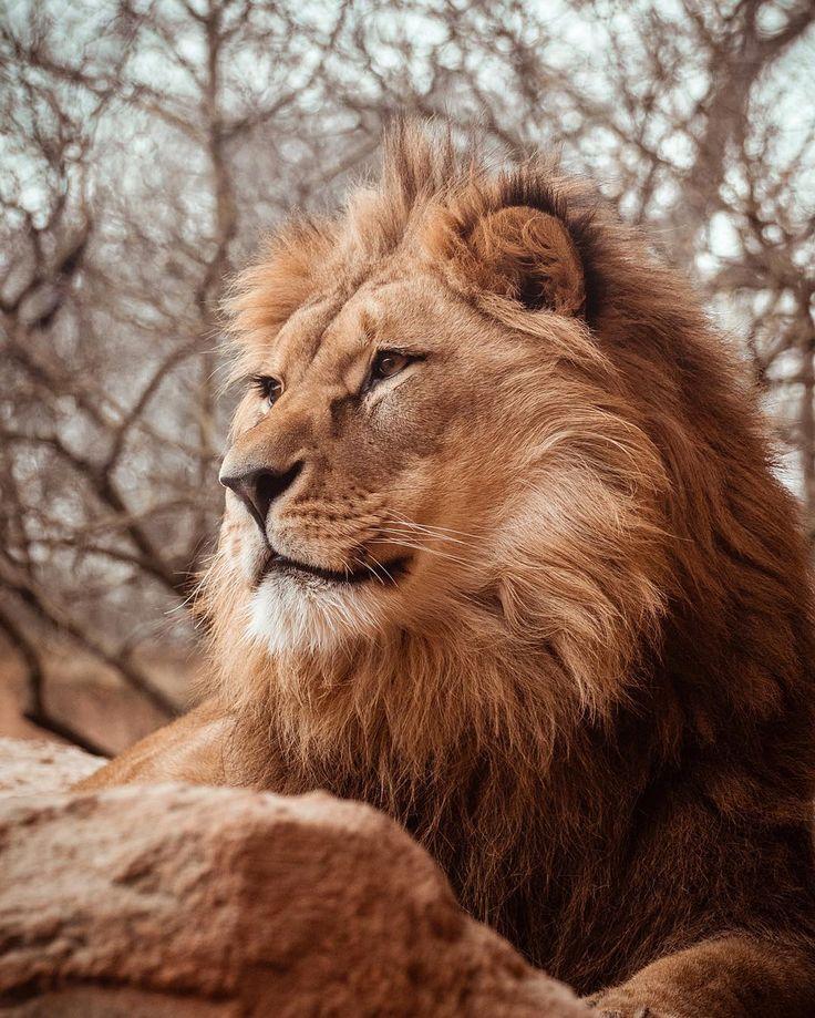 Eindeutig der König der Savanne!  #lionking #hannoveraner #hannoverliebt #hannoverstagram #erlebniszoohannover #animals #lions #naturelovers #naturephotography #tamron70300 #canon80d #pictureoftheday #animalphotography #löwen #zoobesuch  #weekend #lovetheworld #mothernature