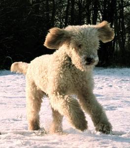 spanischer Wasserhund rennt im Schnee