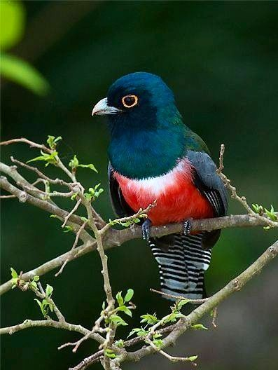 Blue-crowned Trogon via Paradise of Birds on Facebook