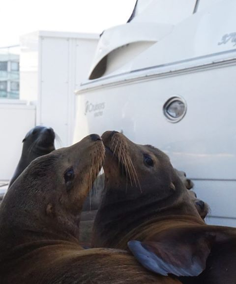 I now pronounce you man and wife.  You may now kiss the bride!!!! ❤ #sealion #seals #animalphotography #animals #lajollacove #lajolla #love #ido #wedding #animallover #boat #yacht #naturephotography #outdoors #ocean #beach #beachlife #adventure #kiss #kissing #lajollalocals #sandiegoconnection #sdlocals - posted by Barbie Saavedra  https://www.instagram.com/barbiels1. See more post on La Jolla at http://LaJollaLocals.com