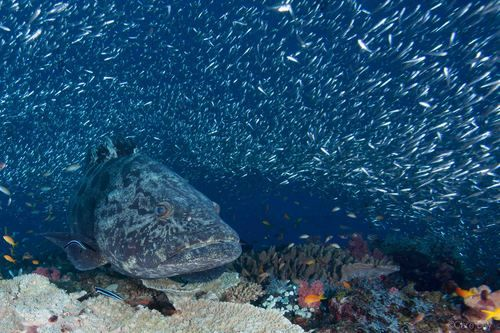 Potato grouper in Ponta do Ouro Mozambique. Photo taken by Clare Daly.