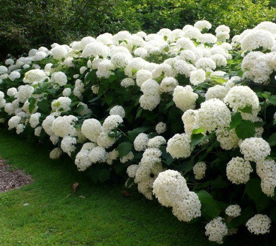 "Annabelle Smooth Hydrangea Hydrangea arborescens annabelle Annabelle is a stunning white hydrangea, often producing flower heads over 10"" in diameter. Blooms every year even after severe pruning and h"