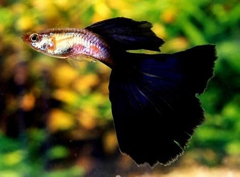 I have male Guppies just like this one.