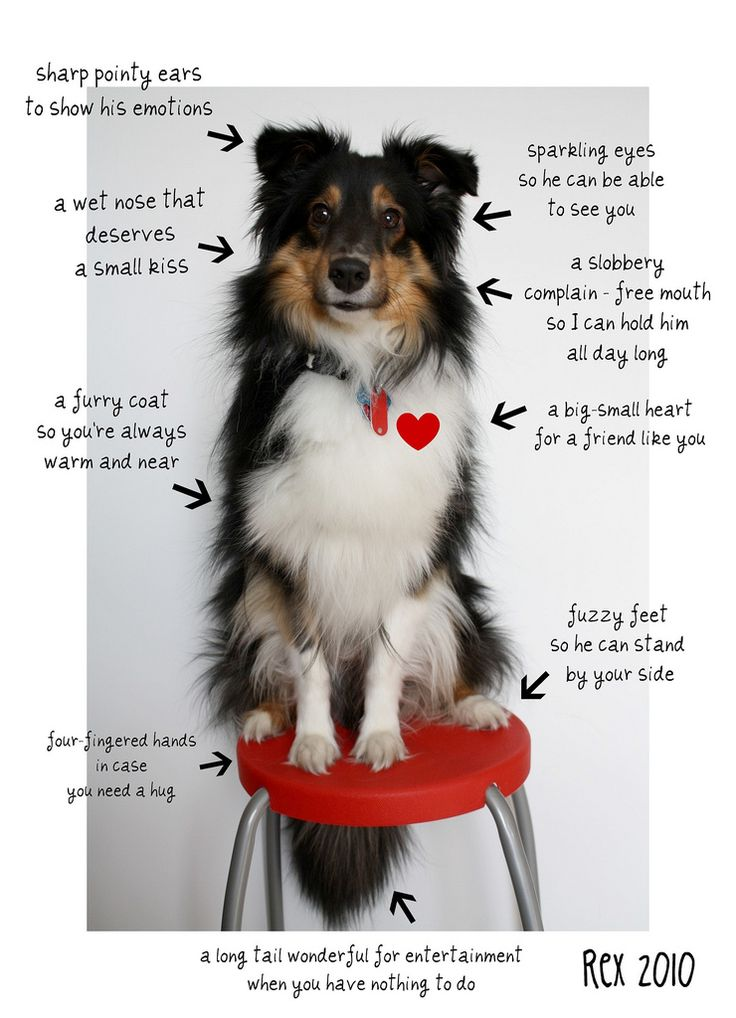 THIS IS PERFECT ugh i need a sheltie...NOW