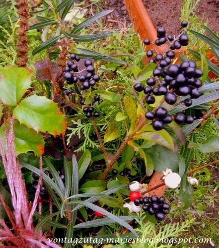 @vontagzutagmari Herbstdeko für Cottotöpfe mit Liguster, Mahonie, Schneebeere, Sanddorn und Reisig http://vontagzutag-mariesblog.blogspot.co.at/
