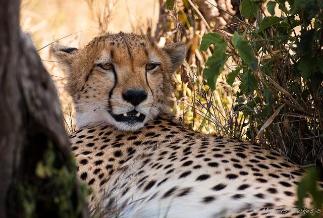 Der Gepard [ˈɡeːpart/ɡeˈpart] (Acinonyx jubatus) ist eine hauptsächlich in Afrika verbreitete Katze. Die in ihrem Jagdverhalten hoch spezialisierten Geparden gelten als schnellste Landtiere der Welt