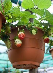 Como cultivar morangos em recipientes | eHow Brasil
