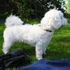 Tsvetnaya Bolonka...  Bolonkas relate to small Russian dog breeds of the Bichon type