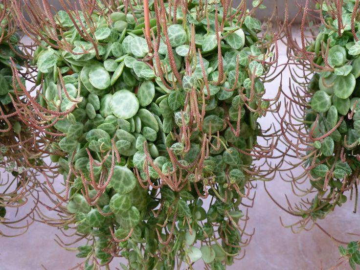 17 meilleures id es propos de plantes retombantes sur for Plantes vertes retombantes