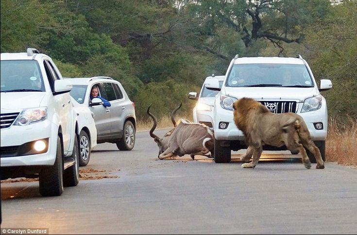 """""""O kudu (um tipo de antílope) pulou dos arbustos e os leões foram atrás dele no meio dos carros"""", contou a mulher. Carolyn está completando um estágio no Parque Nacional Kruger, e dirigia pelo local durante a manhã quando presenciou a cena."""