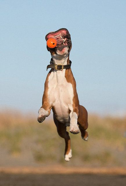 Charlie The Boxer Dog. Look at that mouth!!! lol @Laura Goldsmith