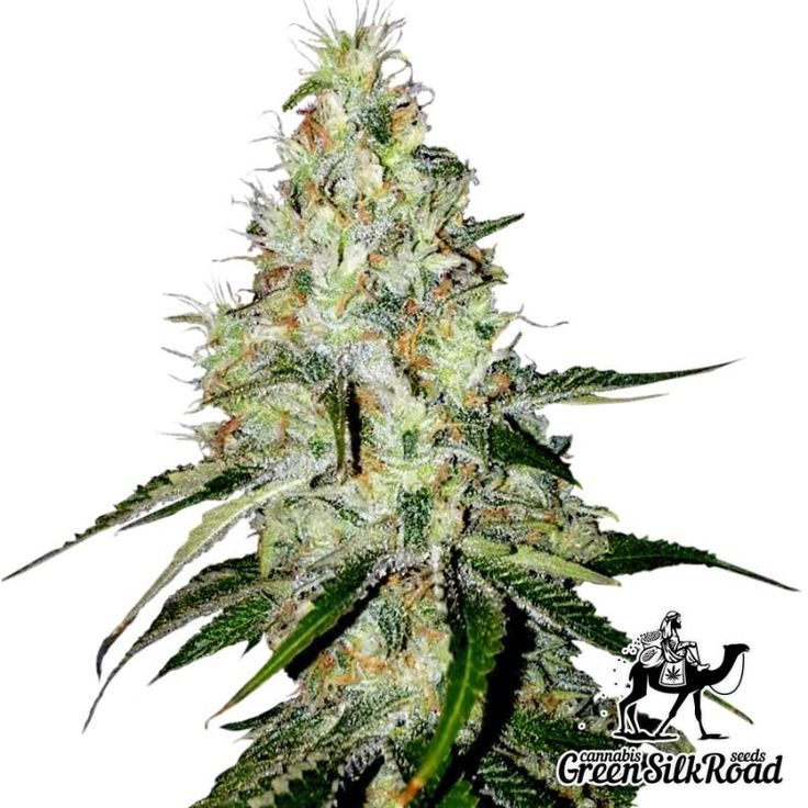 Auto White Widow Feminised is a simple, incredibly energetic and yielding autoflowering strain able to give 150 grams of high-quality stuff per one bush. Its plants exude a pleasant citrus scent and have a long relaxing effect. The hybrid produces an incredible amount of high-quality resin which contains not less than 16% THC. The strain is very undemanding, but even in most comfortable conditions it will not exceed a height of 80 cm