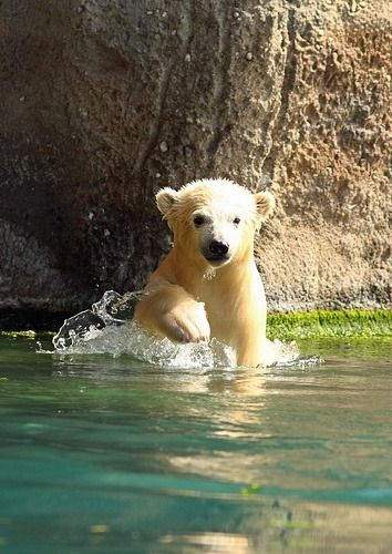 "earthlynation: "" polar bear by erika villa """